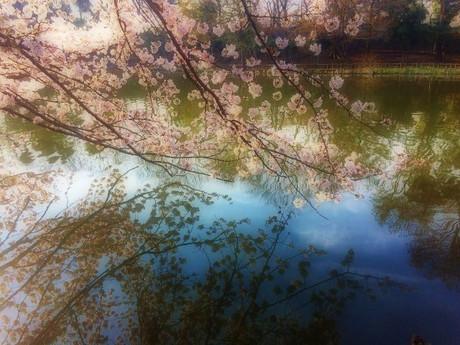 Sakura20181