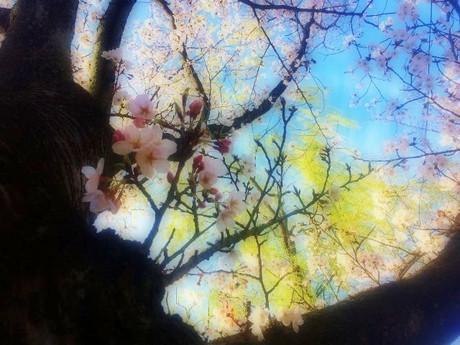 Sakura20182